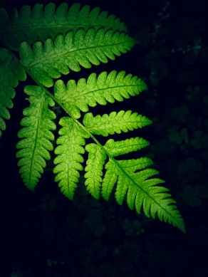 close up photo of green fern leaf